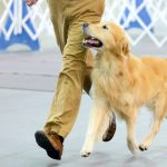 Dog Show Training System and How To Train A Dog To Heel On A Harness
