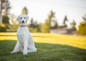 Dog Show Training System / How To Train A Dog To Heel On A Harness