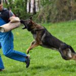 Train A Dog To Heel Video and How To Train A Dog To Kill On Command