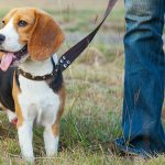 Train A Guide Dog / How Long Does It Take To Train A Dog To Walk On A Leash